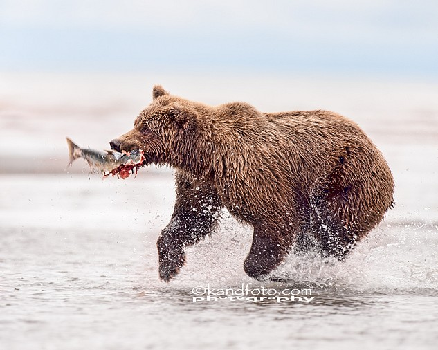 Coastal Brown Bear fishing for silver salmon along the coastline of Lake Clark National Park, Alaska