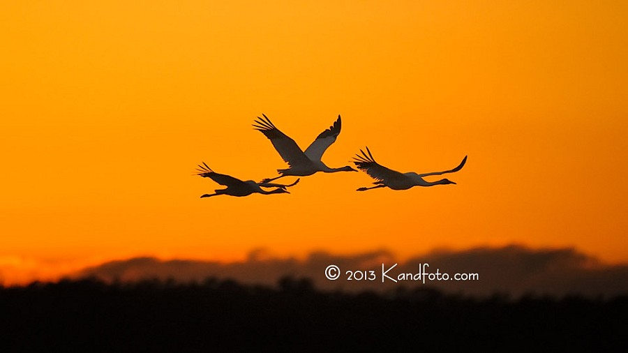 Flying Cranes at Sunset at Goose Island State Park, Texas